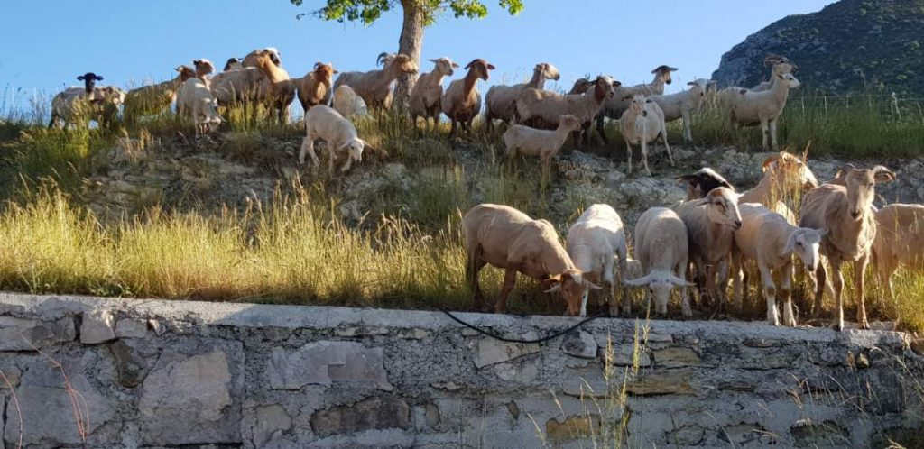 Élevage ovins Girard